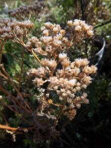 yarrow seedhead